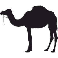 Одногорбый Верблюд 1